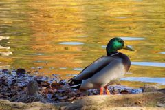 patka